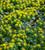 Eranthis hyemalis (Winter Aconite)