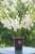 Gladiolus 'Bangladesh'
