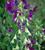 Galtonia candicans 'Viridiflora'