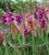 Gladiolus 'Velvet Eyes'