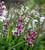 Blackcurrant Ripple Bulb Collection