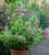 Lilium speciosum var. rubrum 'Uchida'