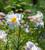 Lilium regale (Species)