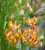Lilium x 'Sunny Morning' (Martagon)