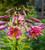 Lilium 'Pink Perfection' (Trumpet)