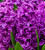 Hyacinthus orientalis 'Miss Saigon' for Forcing