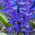 Potted Hyacinths in Willow Trough