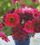 Dahlias for Pots Collection