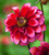 Ultimate Dahlia Collection