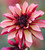 Plum and Apricot Dahlia Collection