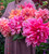 Rajasthan Dahlia Collection