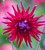 Coral Reef Dahlia Collection