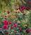 Autumn Border Dahlia Collection
