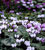 Cyclamen hederifolium (Silver-leaved Group)