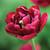 Tulip 'Antraciet'