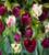 Tulip 'Flaming Spring Green'