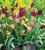 Tulip 'Helmar'