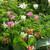 Super Perennial Tulip Collection