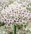 Allium basalticum 'Silver Springs'