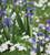 Anemone nemerosa (Wood Anemone)
