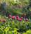 Tulip 'Chato'