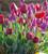 Tulip 'Tambour Maitre'