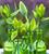 Tulip 'Green King'