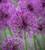 Allium x cristophii 'Purple Rain'