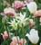 Tulip 'Francoise'