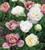 Tulip 'White Touch'