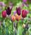 Tulip 'National Velvet'