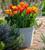 Tulip 'Veronique Sanson'