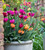Dark Peony Flowered Tulip Collection