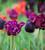 Dark Secret Tulip Collection