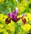 Iris x hollandica 'Red Ember'