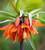 Fritillaria imperialis 'Orange Beauty'