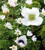 White Anemone Collection