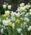 Tulip 'Green Mile'