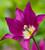 Tulip 'Purple Dream'