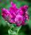 Tulip 'Negrita Parrot'