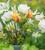 Lemon Sorbet Tulip Collection