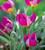 Tulip humilis 'Persian Pearl'