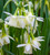 Narcissus 'Lemon Drops'