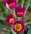 Botticelli Perennial Bulb Collection
