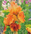Iris germanica 'Carnival Time'