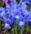 Iris histriodes 'Lady Beatrix Stanley'