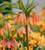 Fritillaria imperialis 'Brahms'