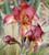 Iris germanica 'Kent Pride'
