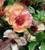 Ranunculus Butterfly 'Theseus'