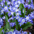 Chionodoxa forbesii 'Blue Giant' (Organic)